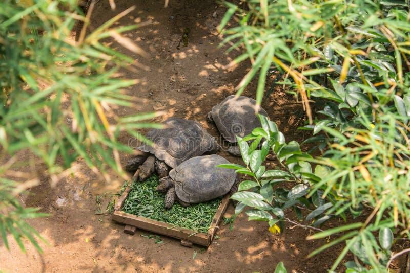 Två sköldpaddor äter morgonhärlighet i zoo royaltyfria bilder