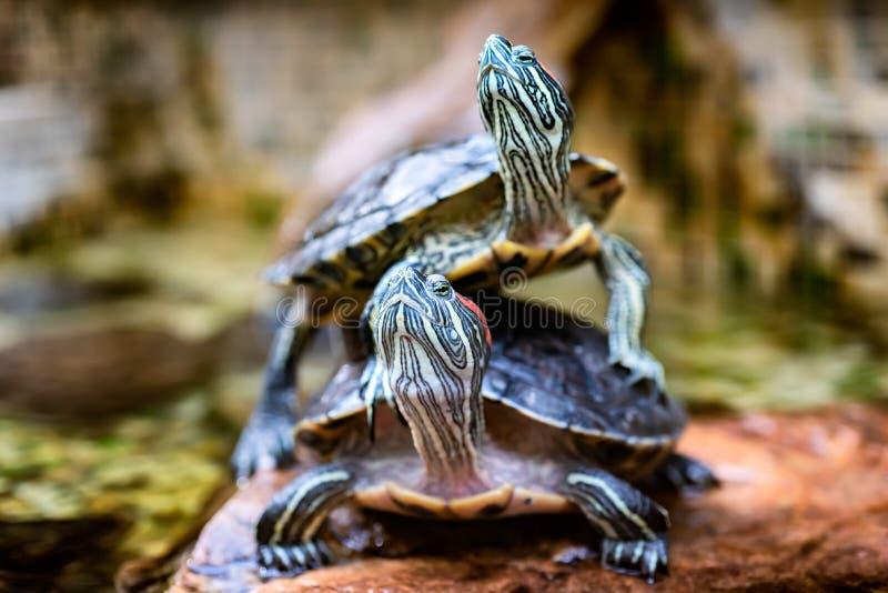 Två sköldpaddor i skogsköldpaddan som symbol av vishet, patiens och livslängden arkivfoto