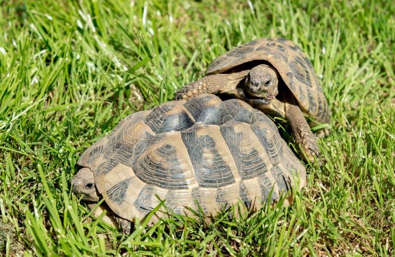 Två sköldpaddor på gräset i solig dag fotografering för bildbyråer