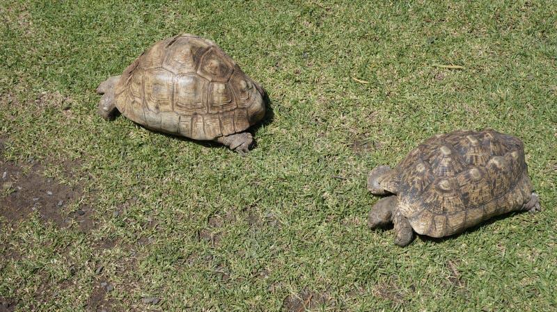 Två sköldpaddor på grönt gräs royaltyfri foto