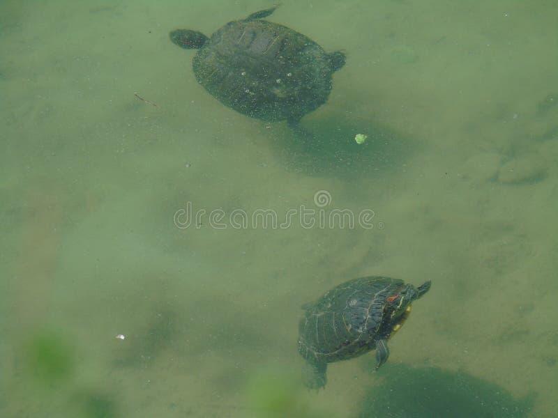 Två sköldpaddor som simmar i vattnet mellan sanden, djur, reptil, sjö arkivbild