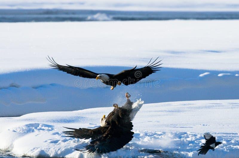 Två skalliga örnar slåss för rov USA _ Chilkat flod arkivbilder