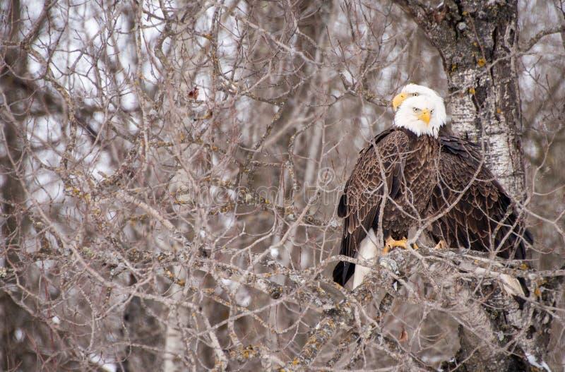 Två skalliga Eagles inget sidaträd arkivfoto