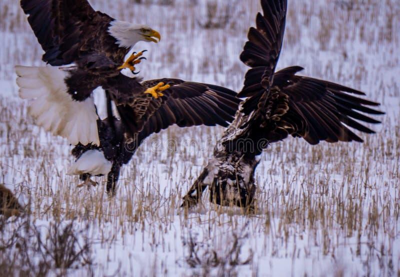 Två skalliga Eagles och en guld- Eagle royaltyfria foton