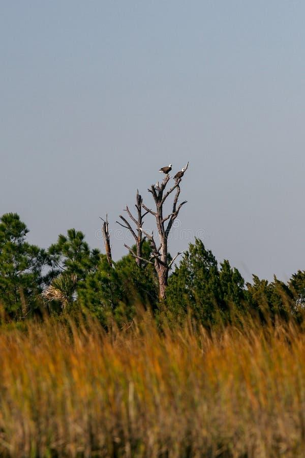 Två skalliga Eagles som Roosting i ett träd royaltyfria bilder