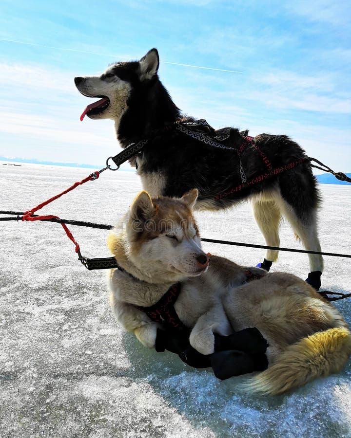 Två skrovliga hundkapplöpning i ett lag i vintern, kopplar av Gullig Siberian skrovlig hundkappl?pning f?r pulka i vinter fotografering för bildbyråer