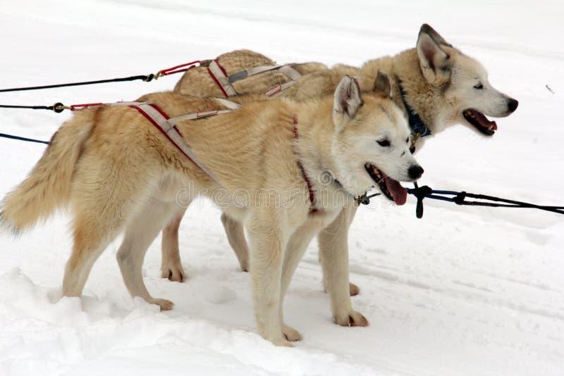 Två slädehundkapplöpning väntar på deras bruk i snön att dra en släde arkivfoto