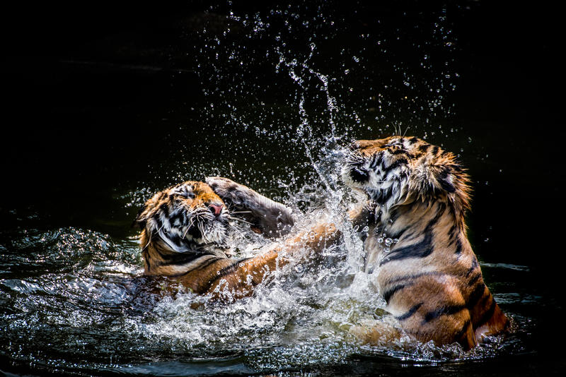 Två slåss tigrar royaltyfri fotografi