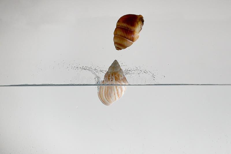 Två snäckskal som tappar i vattenframställningen arkivbild