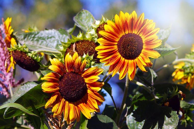 Två solrosor i den trädgårds- solen royaltyfri foto