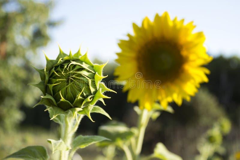 Två solrosor i ett fält på en bakgrund av träd blomning royaltyfri foto