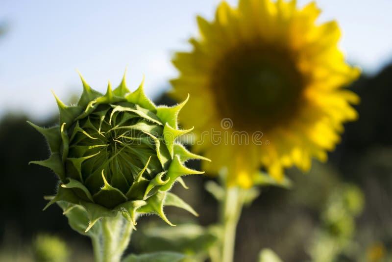 Två solrosor i ett fält på en bakgrund av träd blomning royaltyfri fotografi