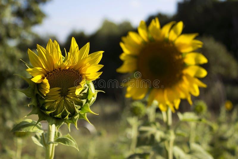 Två solrosor i ett fält på en bakgrund av träd blomning arkivfoto