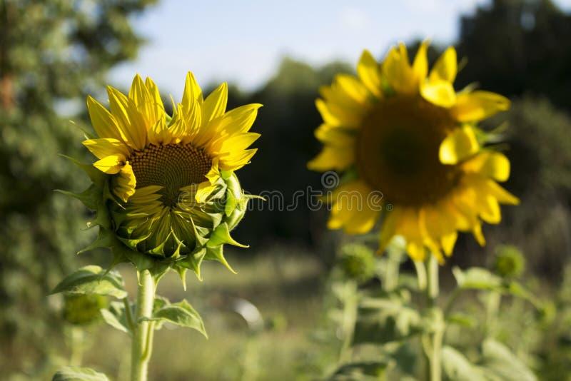 Två solrosor i ett fält på en bakgrund av träd Blomning su royaltyfria foton