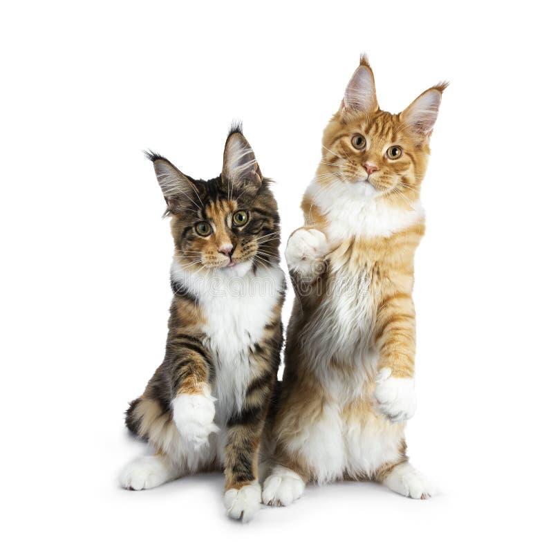 Två spela Maine Coon kattkattungar som sitter upp, en på hind, tafsar, annan med en tafsar i luft och klibbatungan ut, båda l arkivfoton
