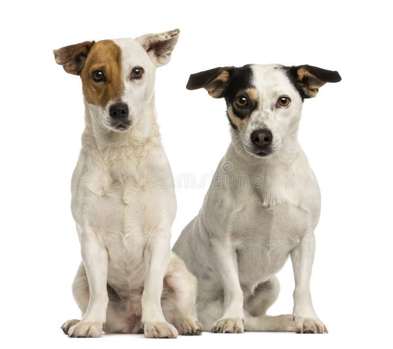 Två stålarrussell terrier som sitter och ser kameran fotografering för bildbyråer