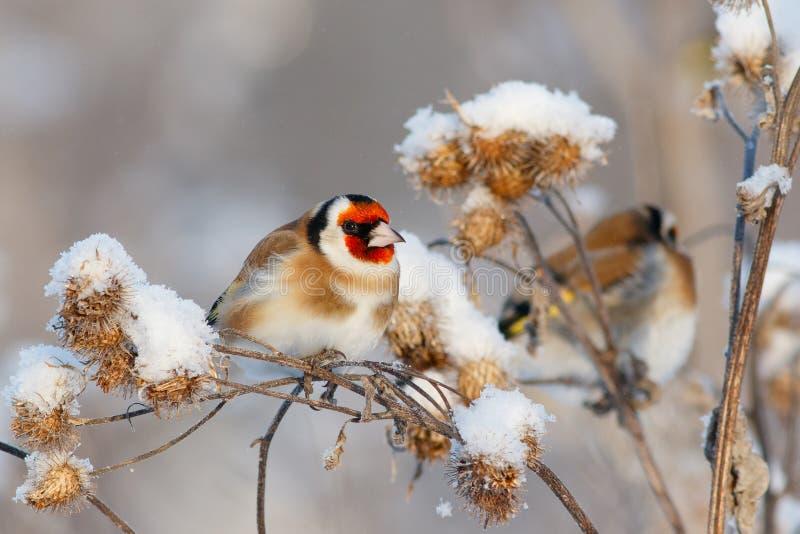 Två steglitsfåglar som sitter på filial av kardborren arkivfoton