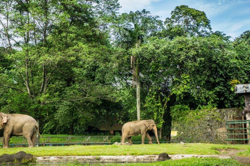 Två stora elefanter i buren med pölen som omger vid staketet och trädfotoet som tas i den Ragunan zoo Jakarta Indonesien royaltyfri foto