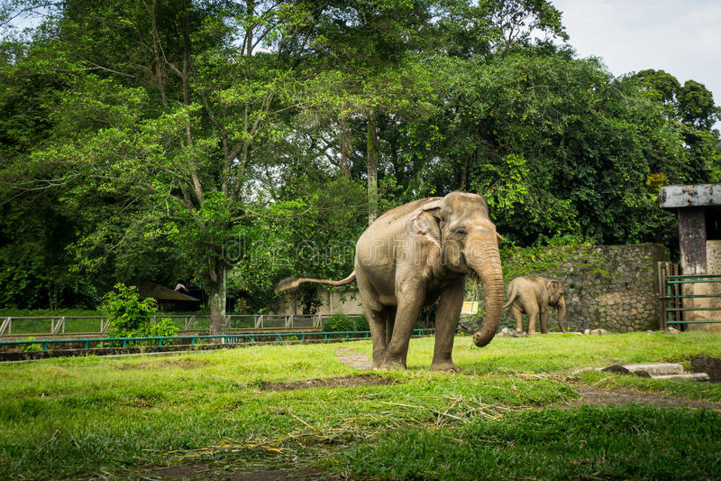 Två stora elefanter i buren med pölen som omger vid staketet och trädfotoet som tas i den Ragunan zoo Jakarta Indonesien arkivbilder