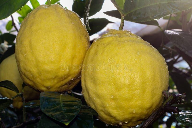 Två stora gula citroner som täckas med vattensmå droppar, hänger på trädet royaltyfri bild