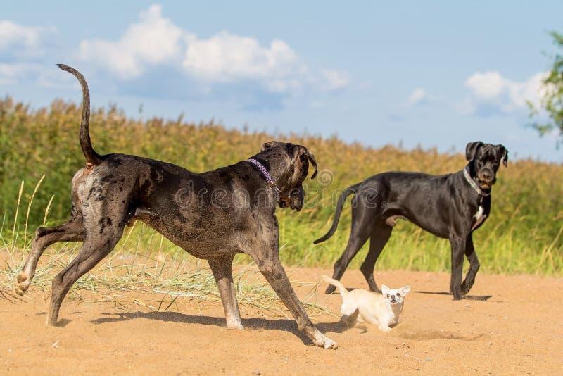 Två stora hundar och en liten hund royaltyfri foto