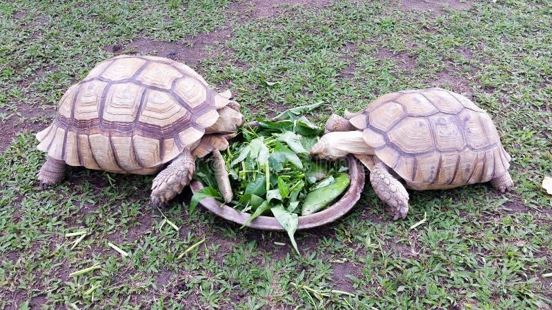 Två stora landsköldpaddor som delar ett mål i Phuket, Thailand royaltyfri fotografi
