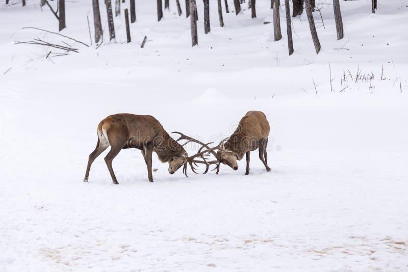 Två stora röda hjortar i en kamp royaltyfria foton