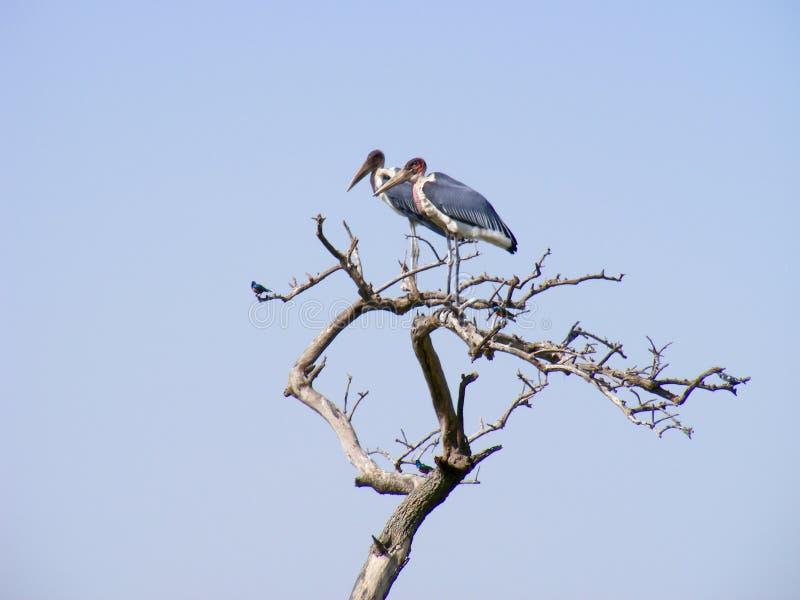 Två storkar som sätta sig på ett dött träd royaltyfri foto