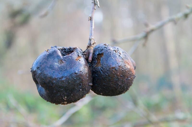 Två svärtar det ruttnade äpplet på vinterträd arkivbild