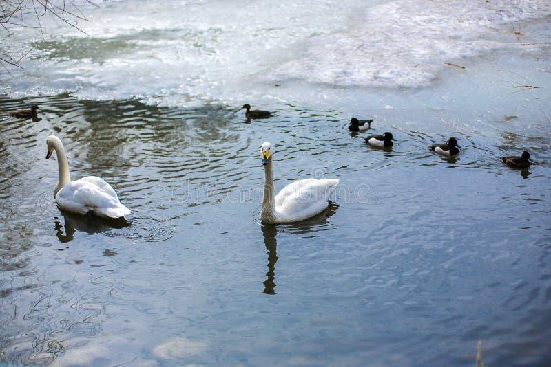 Två svanar och änder simmar i sjön i vinter arkivbild