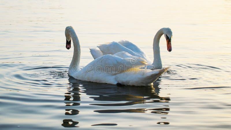 Två svanar på havsvattnet, på soluppgång, på en härlig sommardag En ursnygg bild royaltyfri fotografi