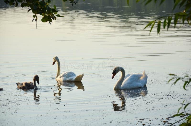 Två svanar på sjön i den öppna luften arkivfoto