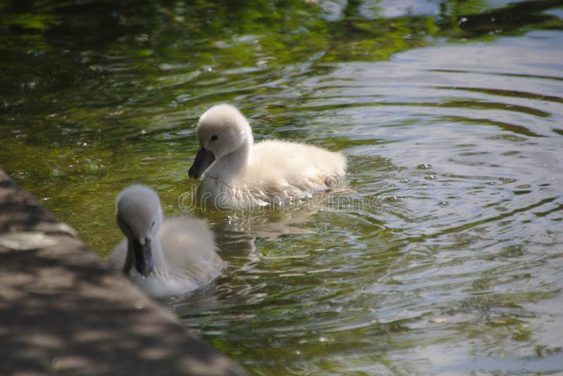 Två svanfågelungar i vattnet arkivfoton