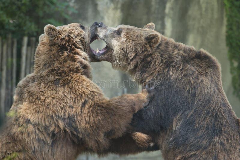 Två svarta grisslybjörnar arkivfoton