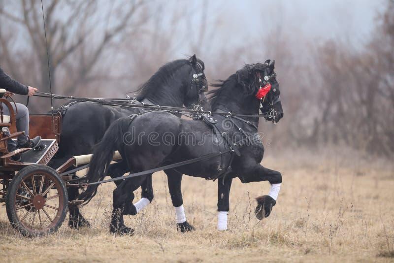 Två svarta härliga smyckade hästar drar en vagn royaltyfri bild