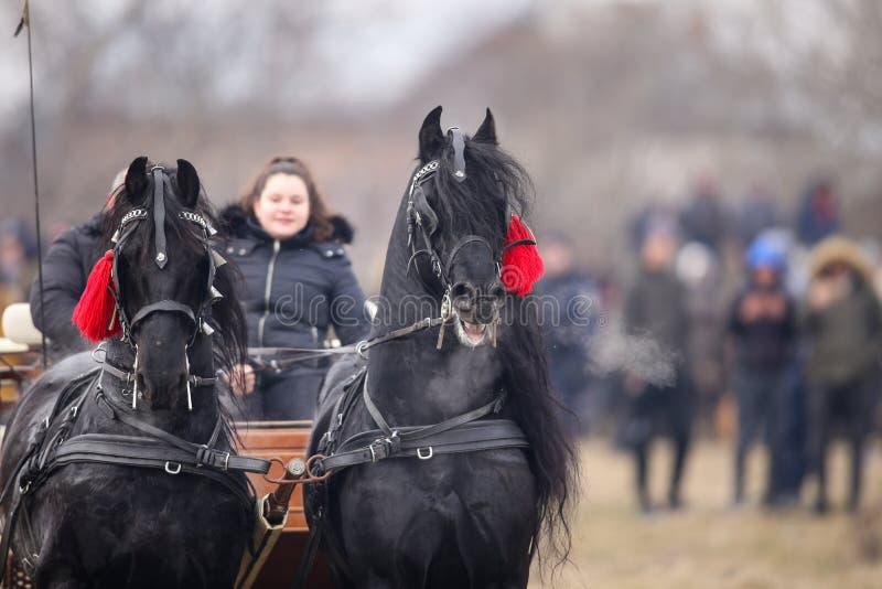 Två svarta härliga smyckade hästar drar en vagn royaltyfri fotografi