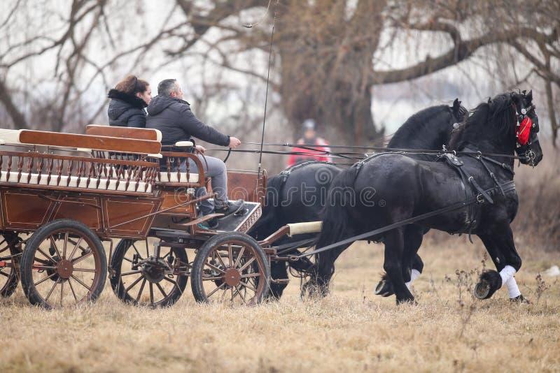 Två svarta härliga smyckade hästar drar en vagn arkivbild