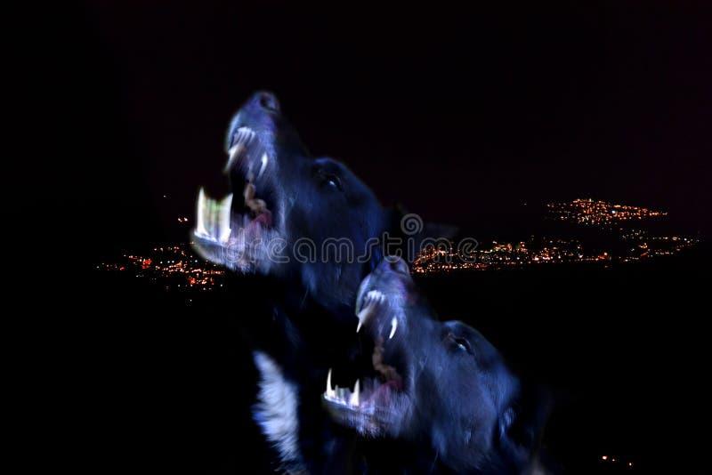 Två svarta hundar som tjuter royaltyfria foton