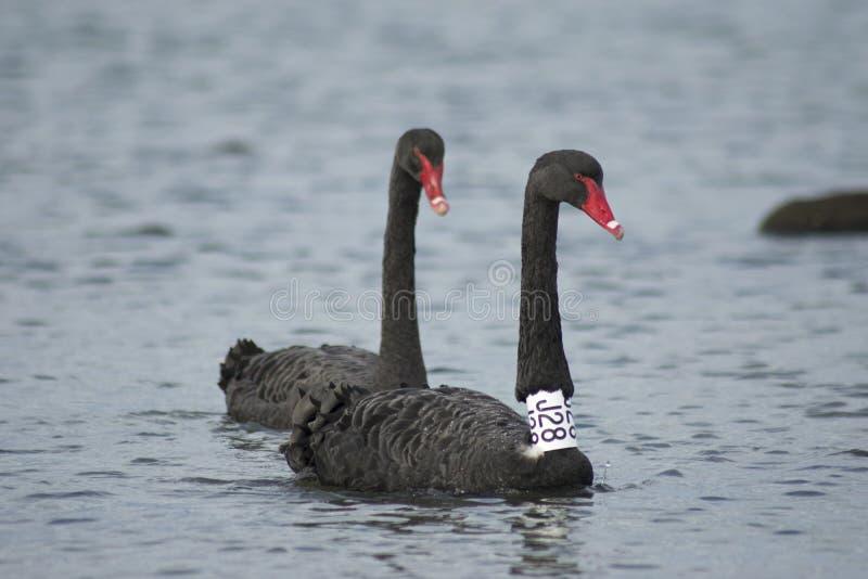 Två svarta svanar i havet/havet, märkt svart svan royaltyfri bild