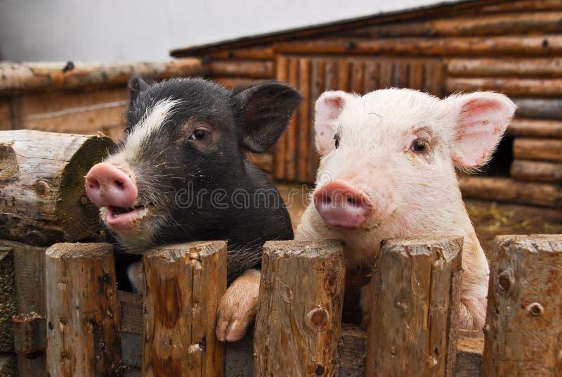 Två svin royaltyfri bild