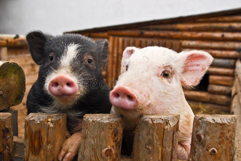 Två svin royaltyfri foto