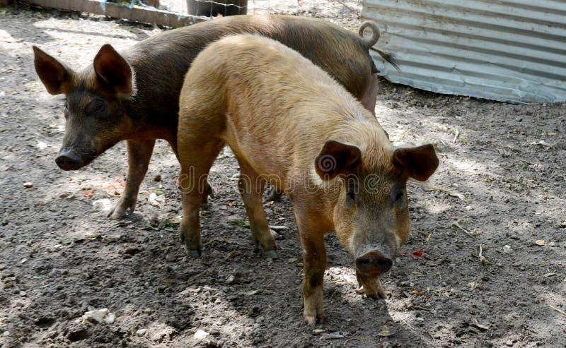 Två svin arkivfoto