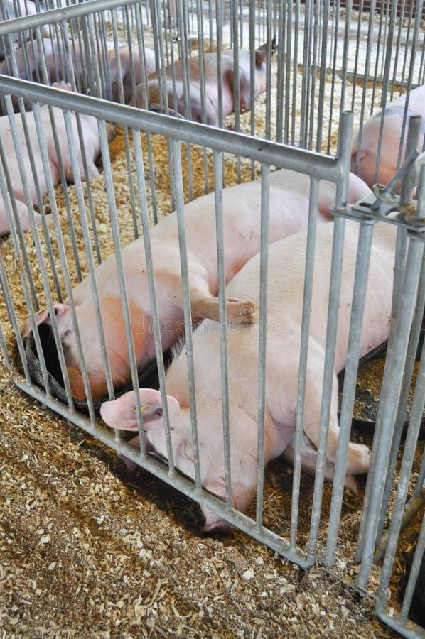 Två svin som sover i en bur royaltyfria bilder