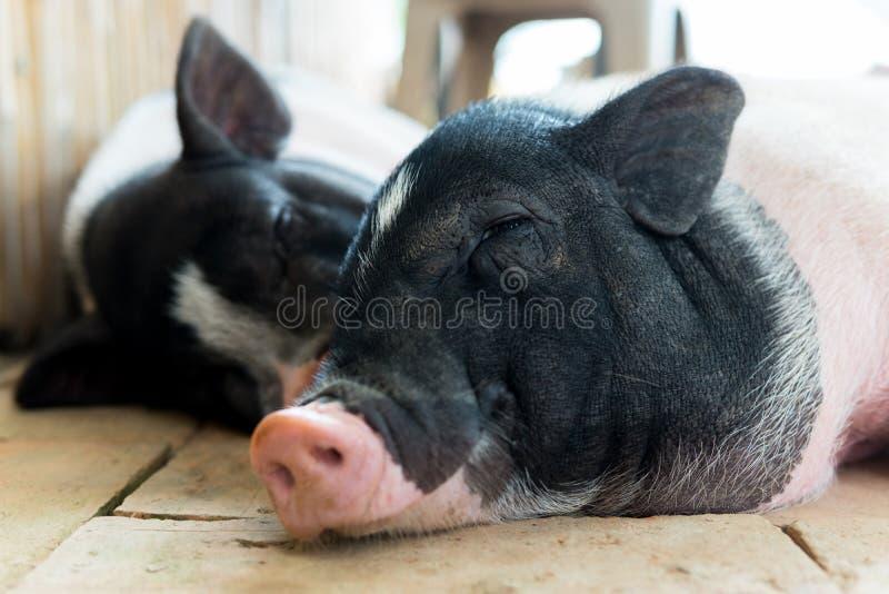 Två svin sover royaltyfri foto