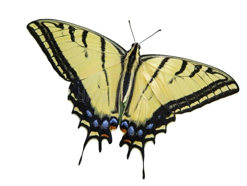 Två tailed isolerad vit för swallowtail fjärilen royaltyfri bild