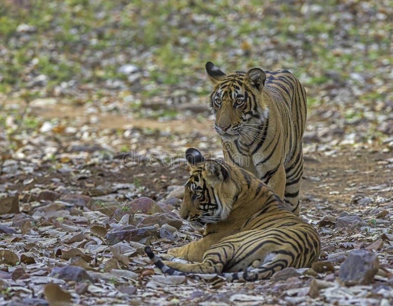 Två tigrar, Panthera tigris vid Ranthambhore i Rajasthan, Indien royaltyfri foto