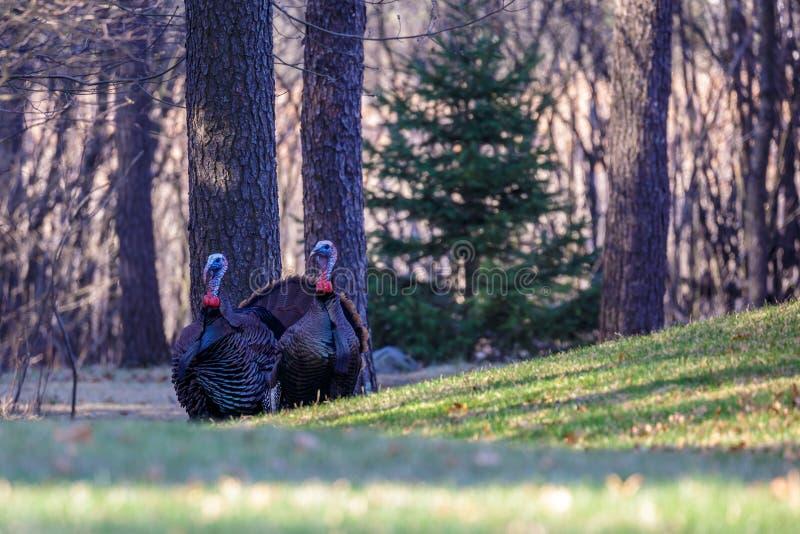 Två Tom Turkeys royaltyfri bild