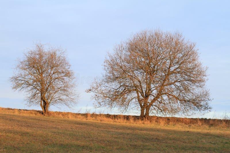 Två träd royaltyfria foton
