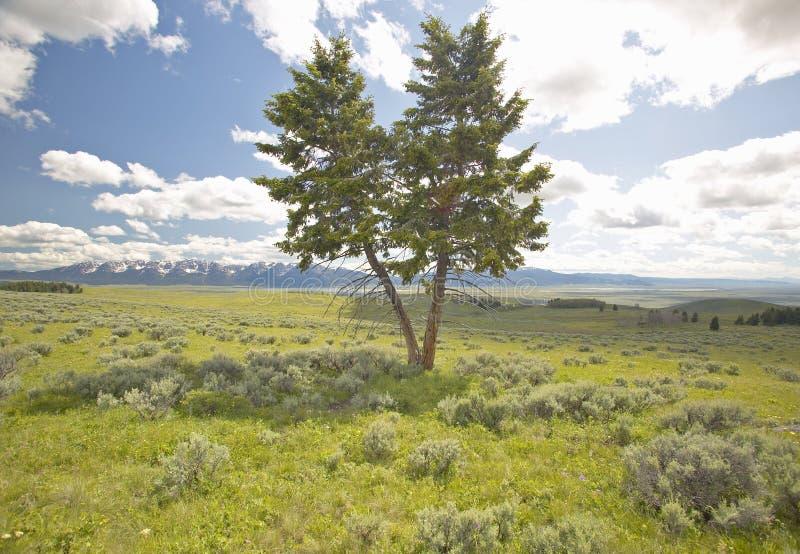 Två träd, vårgrässlättar och blommor i den hundraårs- dalen nära Lakeview, MT royaltyfria bilder