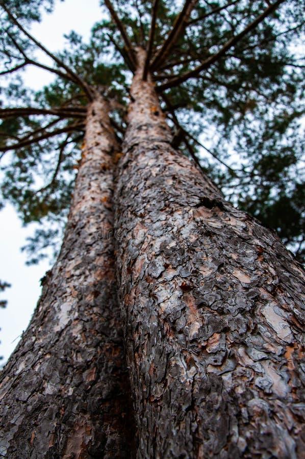Två trädstammar som tillsammans växer som, kopplar samman royaltyfri fotografi